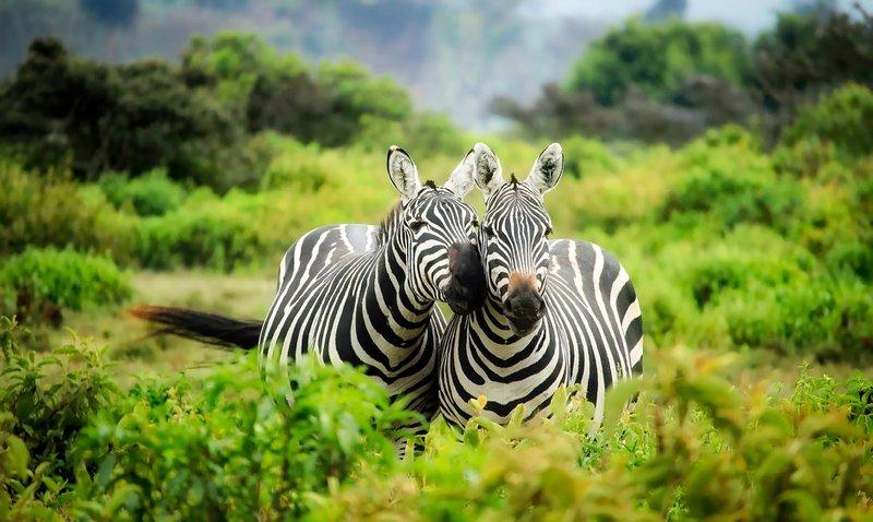 Two zebras in a field