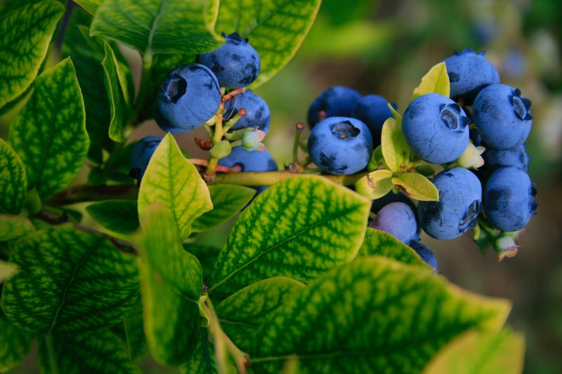 full grown blueberries