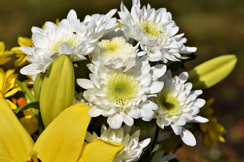 chrysanthemum tea health benefits