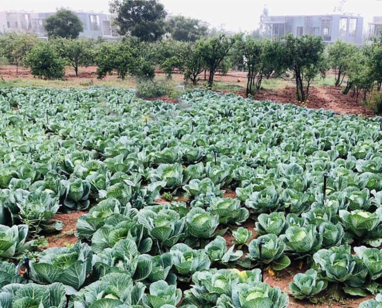 organo cabbage crop