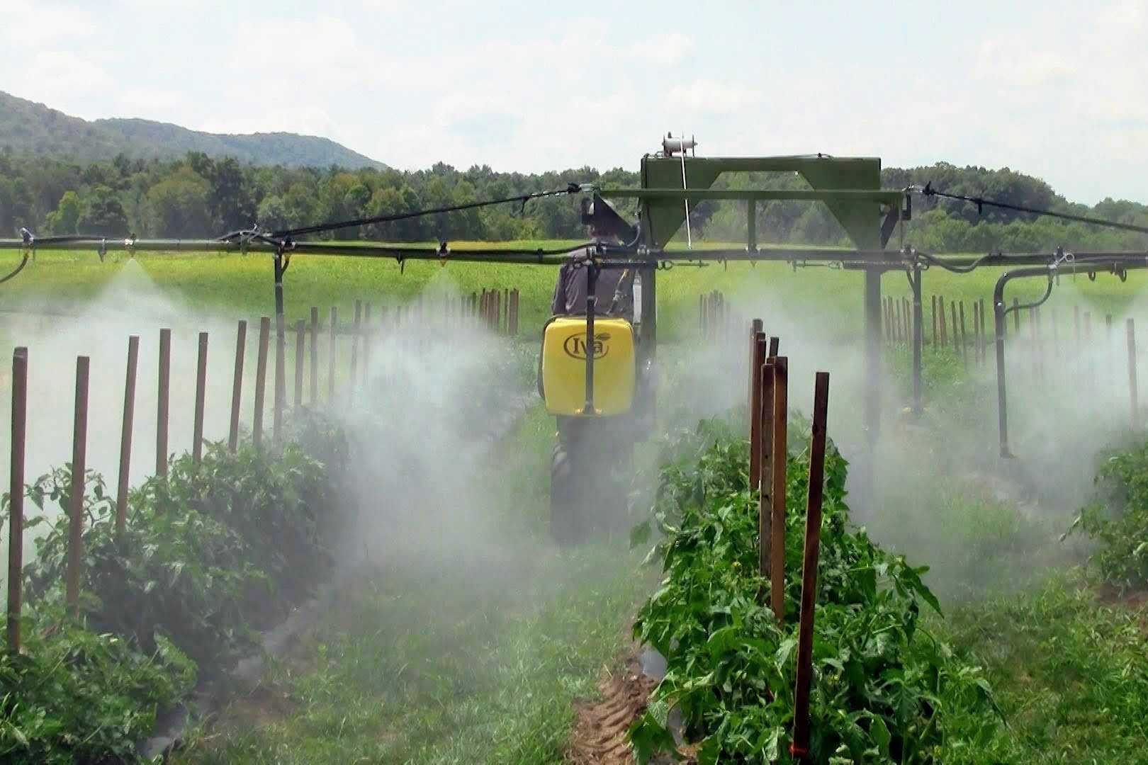 spraying tomatoes with SP50 sprayer from Iva Sprayers