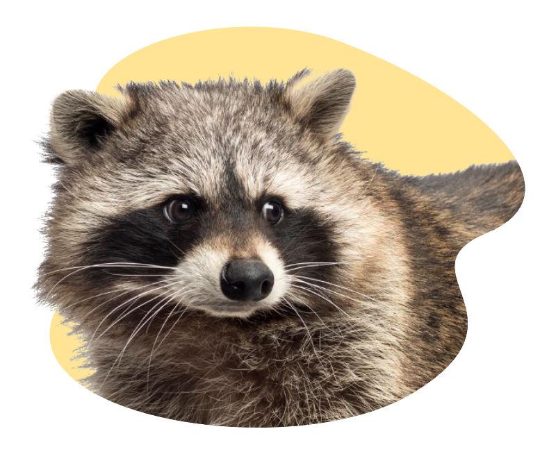 raccoon critter