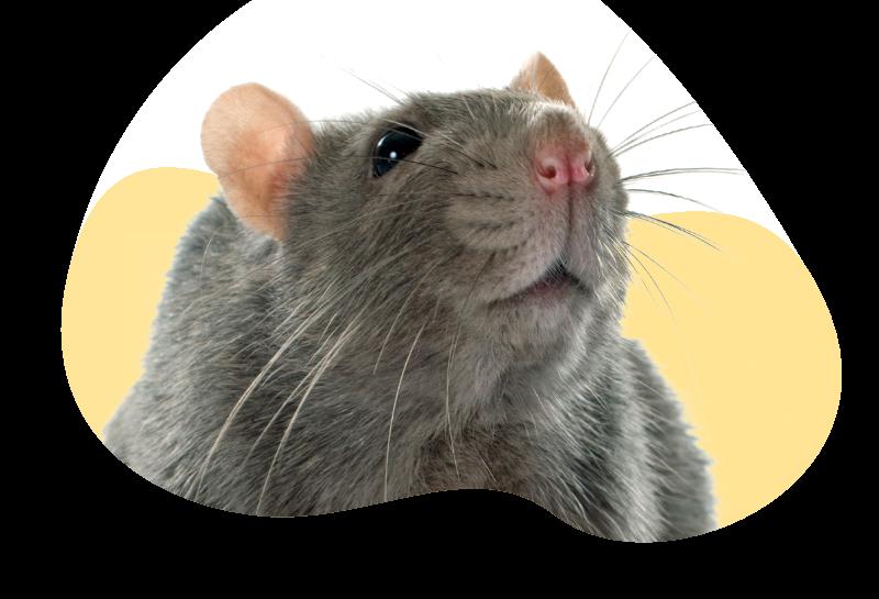 rat collage