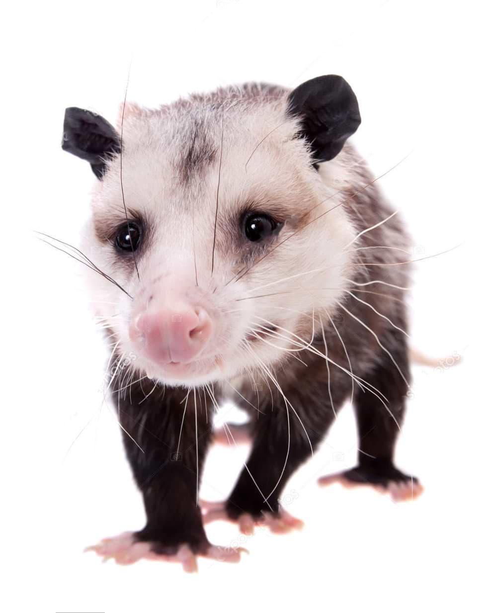 opossum critter