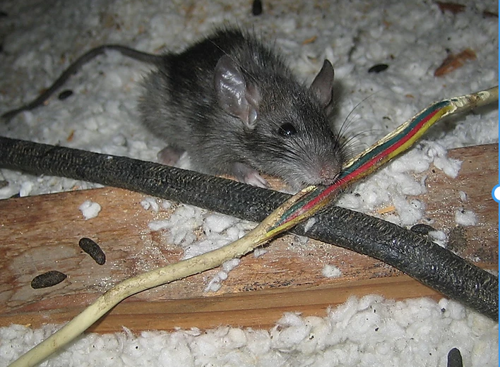 Rat chewing on an electrical wire in an attic which could lead to a fire