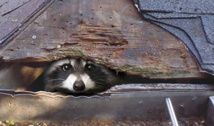 Racoon nesting in a home causing an infestation