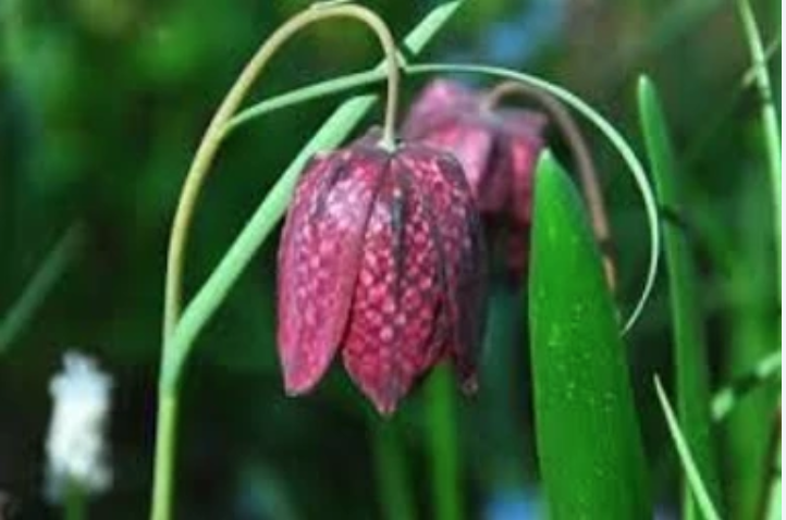 A fritillary is a flower that naturally repels squirrels and other rodents.