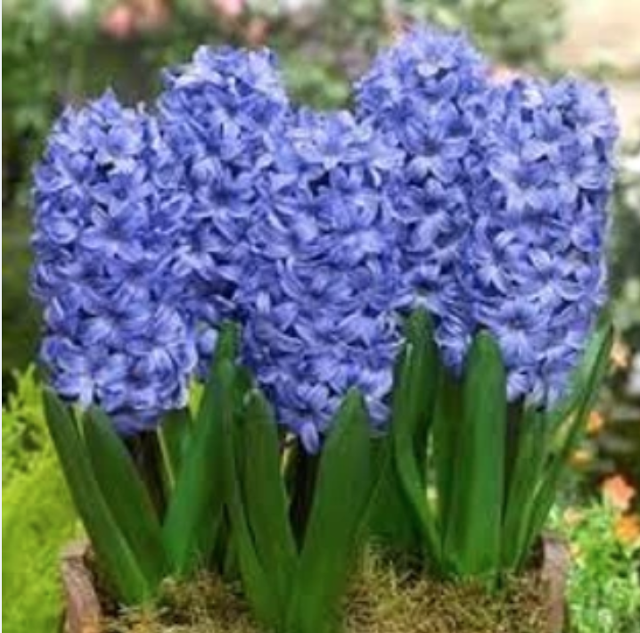 The hyacinth is an easy to maintain plant that deters rodents and other pests.