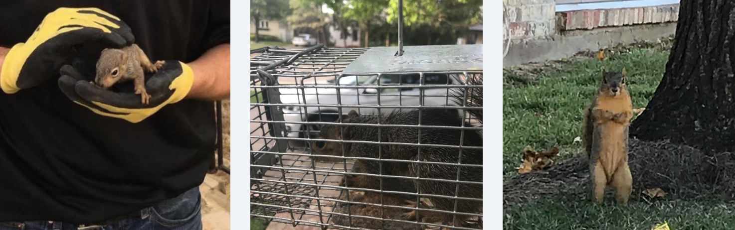 Squirrels that have been removed after nesting inside dallas homes.