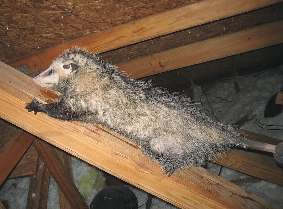 An opossum living inside a Dallas area home.