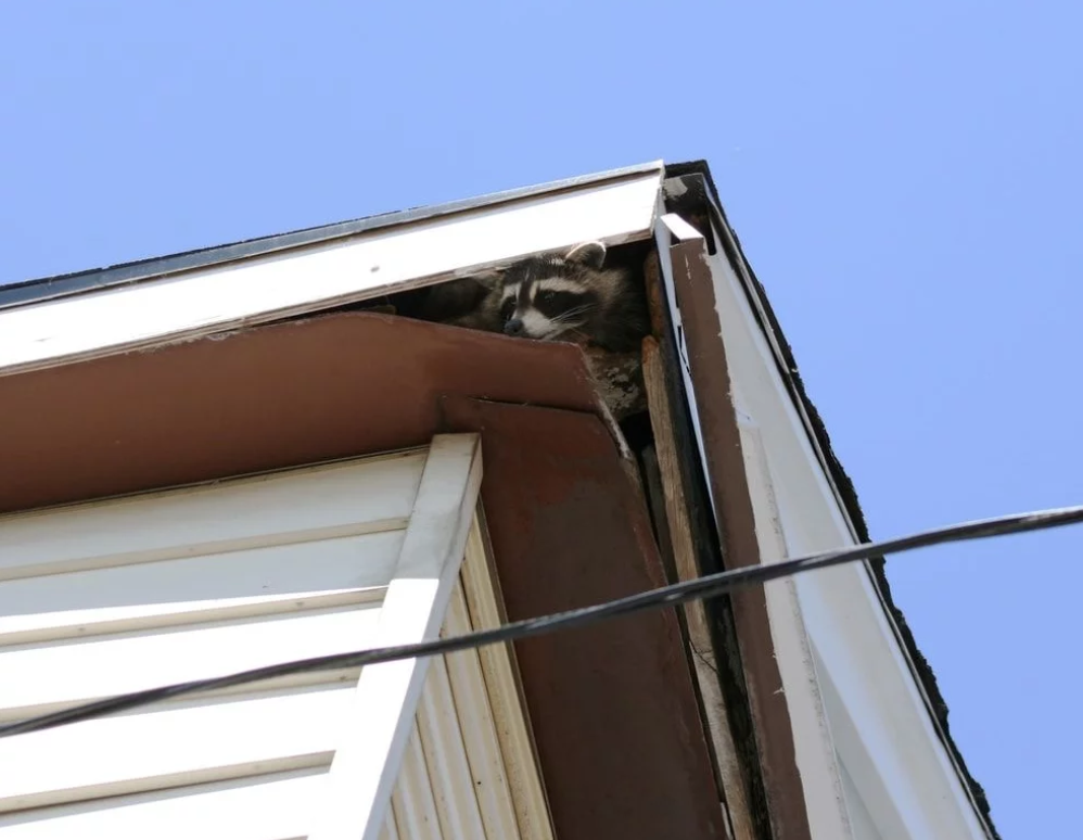 Raccoon peaking through a hole it chewed in a Dallas area house.