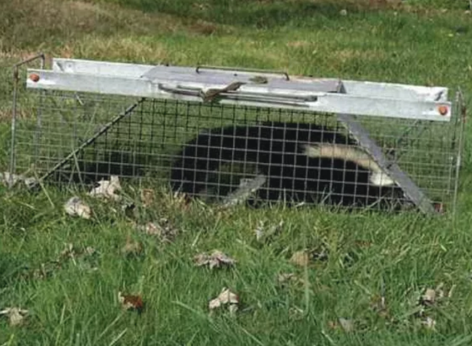 Skunk captured in a Dallas area home.