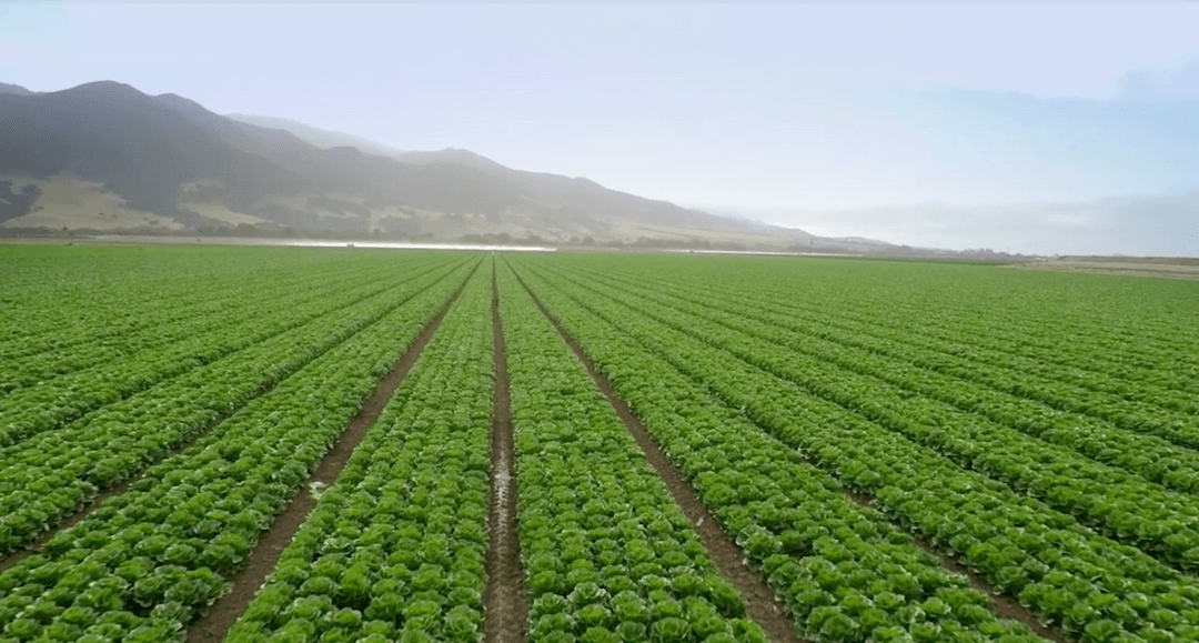 This Kneaders spot displays how truly great salads are made. Showing fields of lettuce and vegetables before the process of cutting them into the perfect salad.
