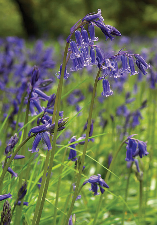A wonderful close up photograph of bluebells in a spring meadow