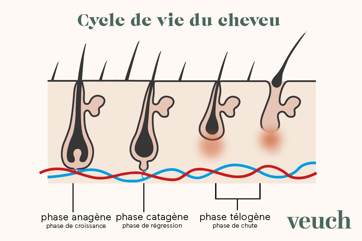 cycle de vie du cheveu Veuch durée de vie