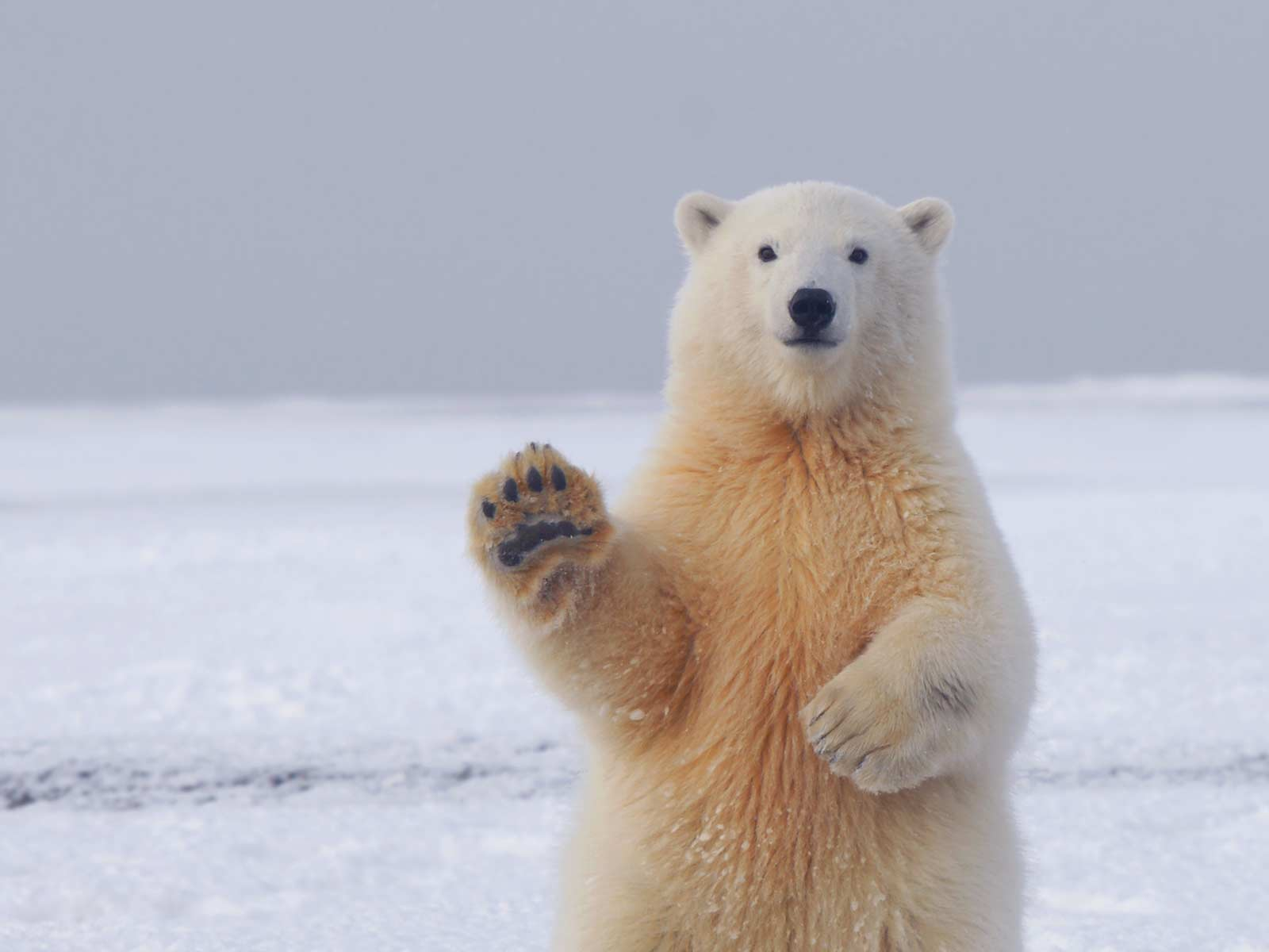 photo of a waving bear