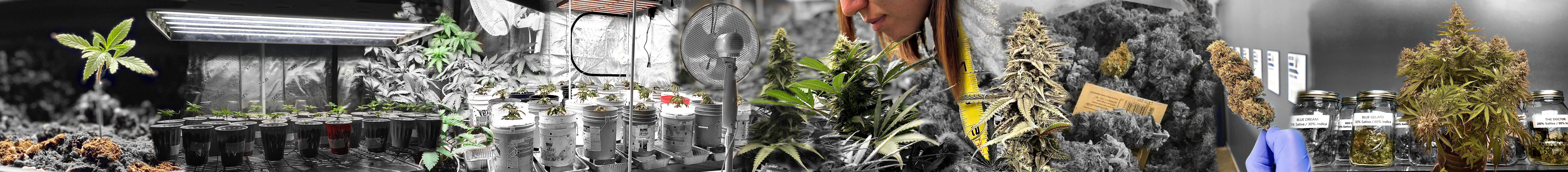 marijuana life cycle