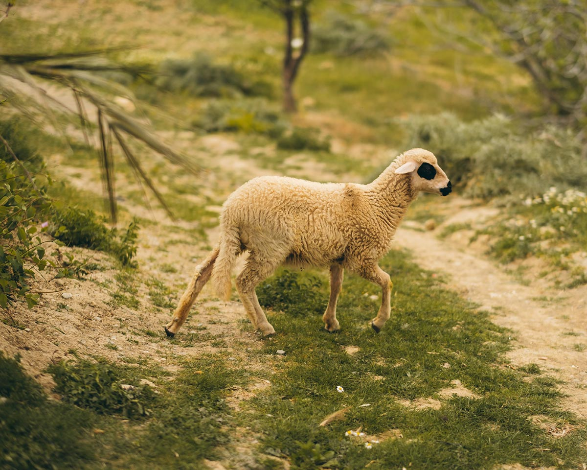A lamb from the Rif
