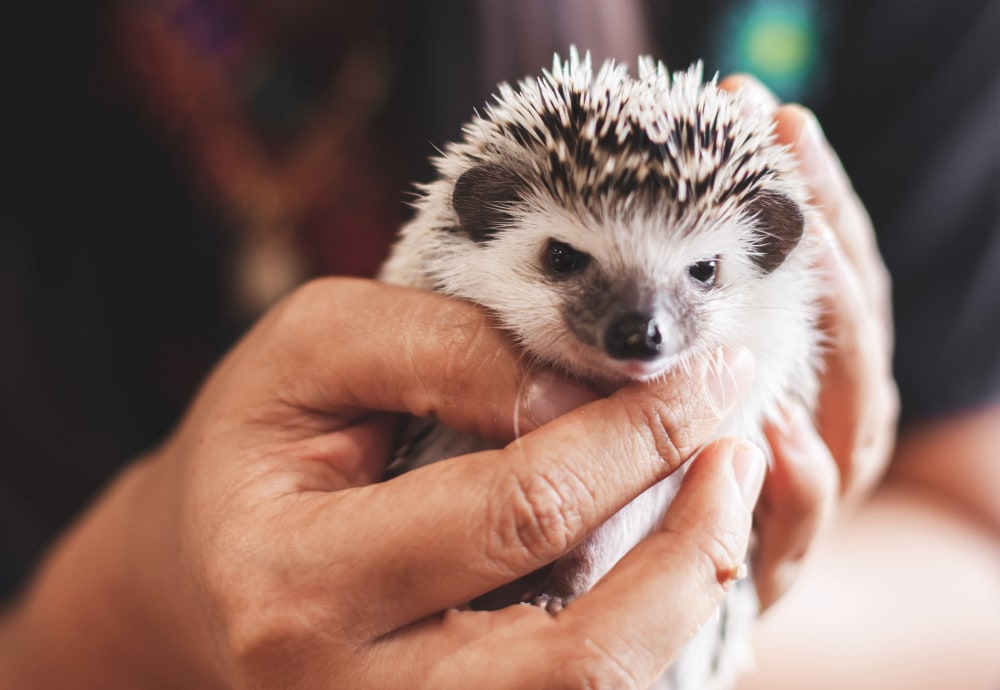 Hedgehog emergency care guide
