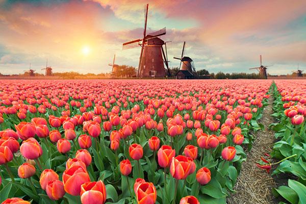 hoa tulip nhập khẩu Hà Lan, Pháp, Nhật toàn quốc