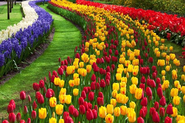 hoa tulip nhập khẩu Hà Lan