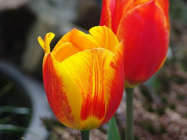 ý nghĩa hoa tuip