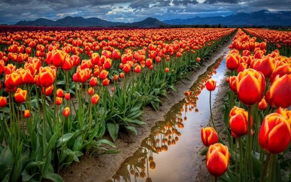 vẽ đẹp của hoa tuy líp