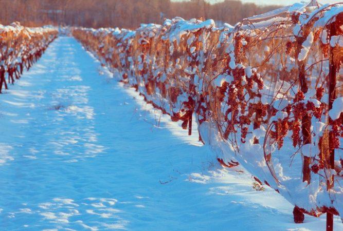 viñedos congelados en España