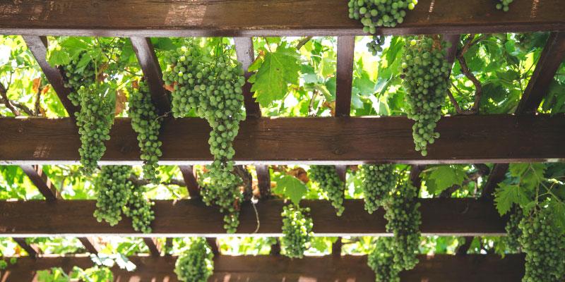 Raisin accrochés à une vigne