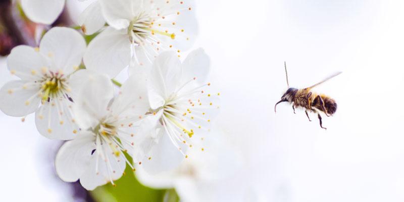 Abeille qui butine une fleur