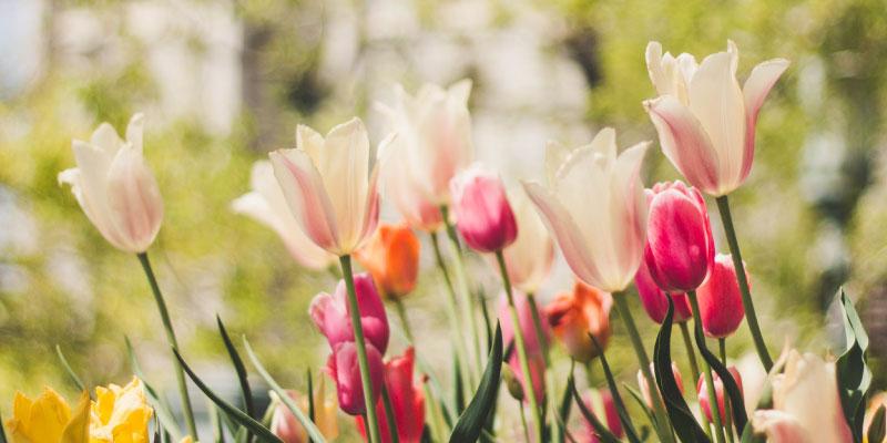 Champs de tulipes roses