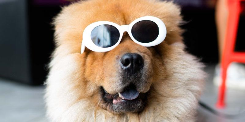 Chien portant des lunettes de soleil