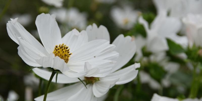 Fleurs blanches avec du pollen