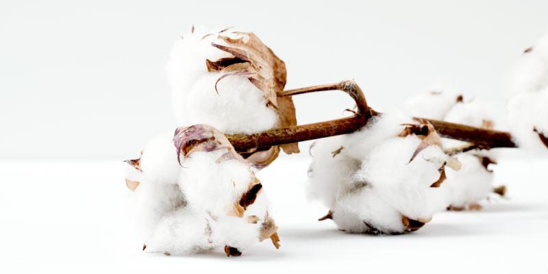 Fleurs de coton naturelles