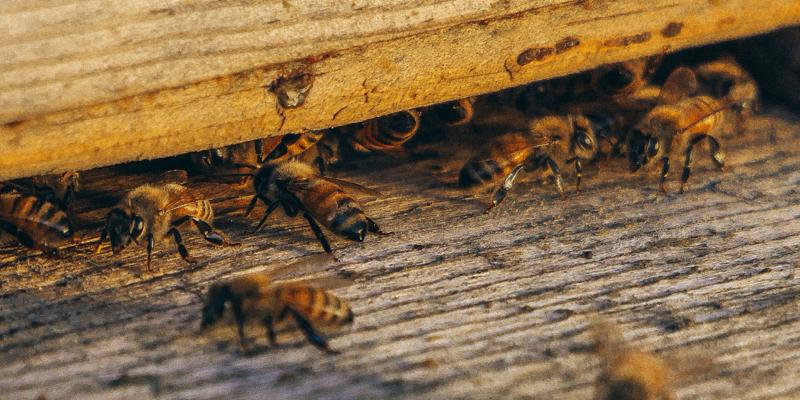 Abeilles à l'entrée d'une ruche
