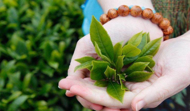 Cách trị chàm da bằng Lá trà xanh