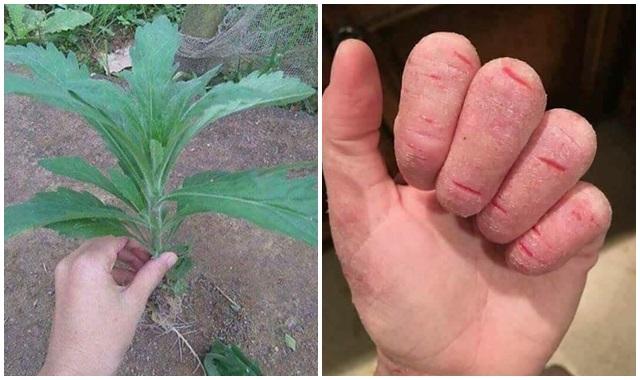 chữa á sừng từ cây ngải dại