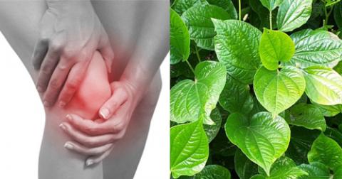 Cách sử dụng lá lốt điều trị đau khớp gối