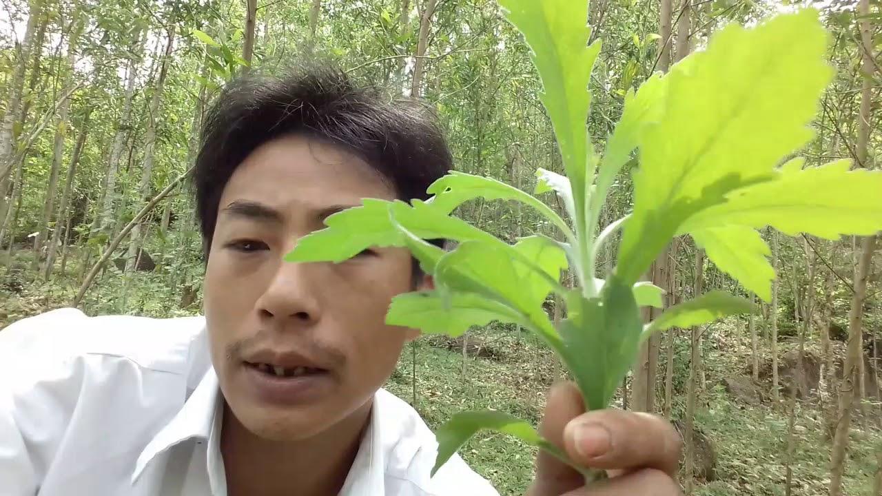 Nấu nước ngâm từ cây ngải dại chữa trị viêm da cơ địa