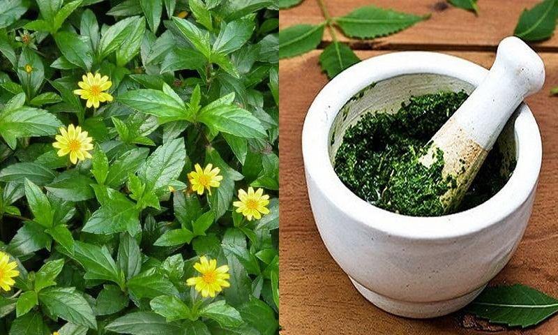 Uống thuốc từ cây sài đất trị viêm da cơ địa
