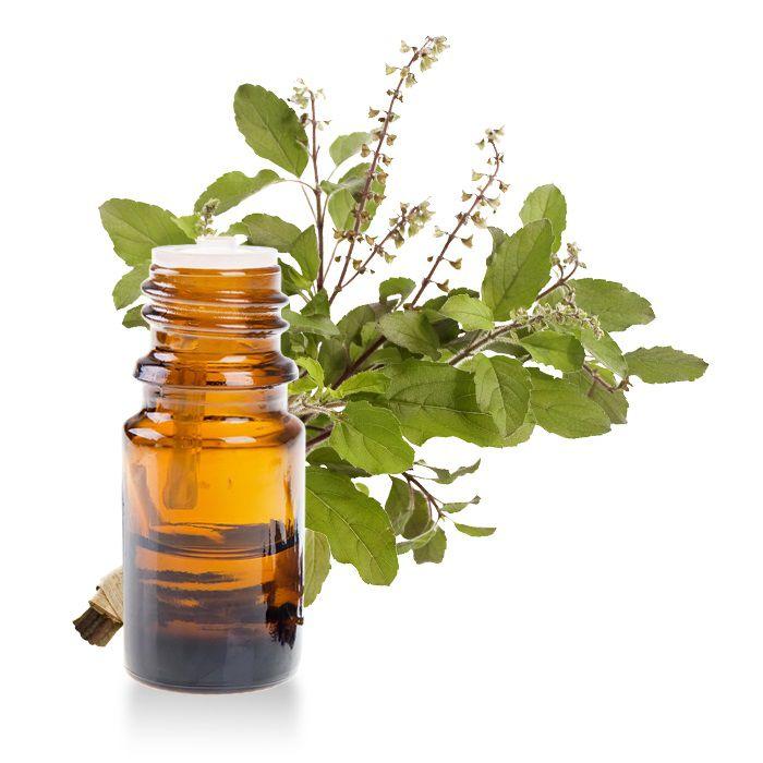 Thành phần tinh dầu hương nhu