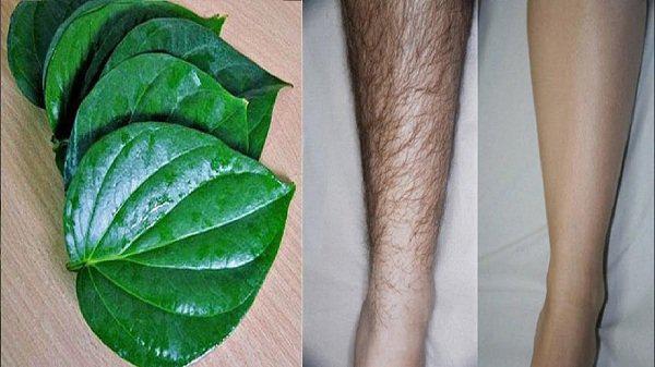 Tẩy lông chân với lá trầu không