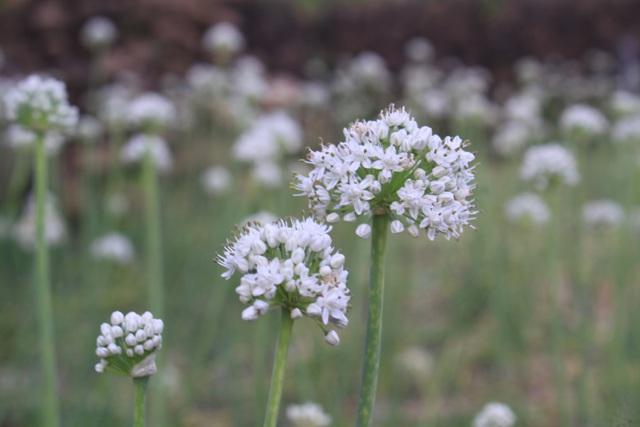 Cách chữa bệnh chàm bằng hành hoa