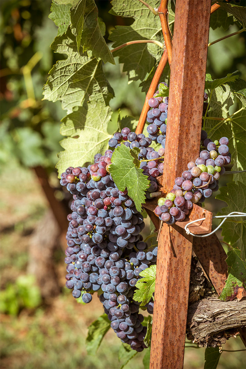 Grand Forest Metsovo wine production