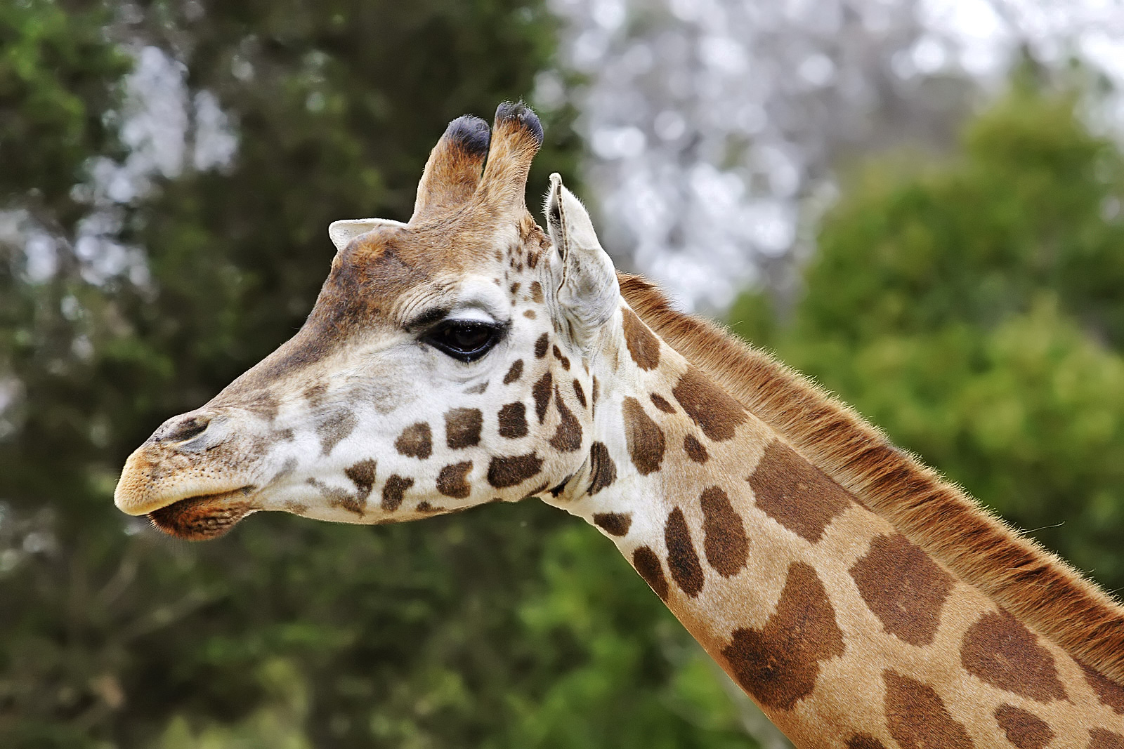 A giraffe at Melbourne Zoo