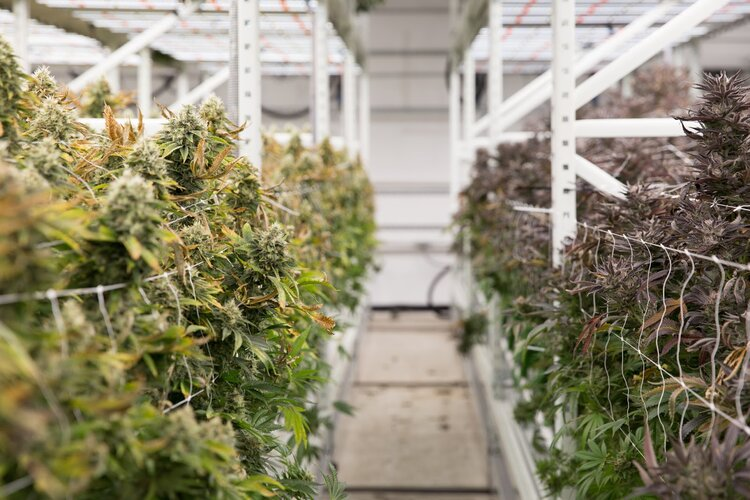 Cannabis Grow Increase Yields Spacesaver (1).jpg