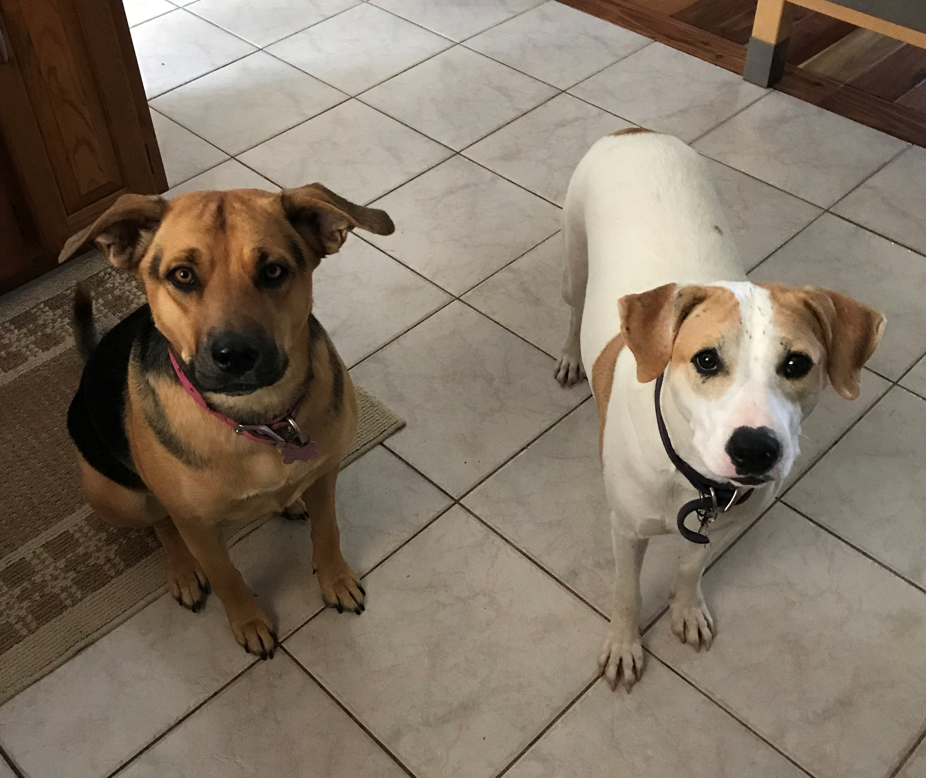Being two rescue dogs, Daisy and Sophie act like sisters who love to chase squirrels and play ball together. While each one have their own unique personality, they remain very close to each other.
