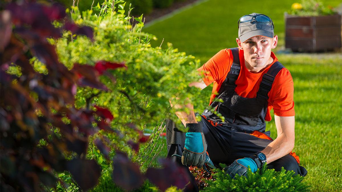 Lawn maintenance man trimming bushes.