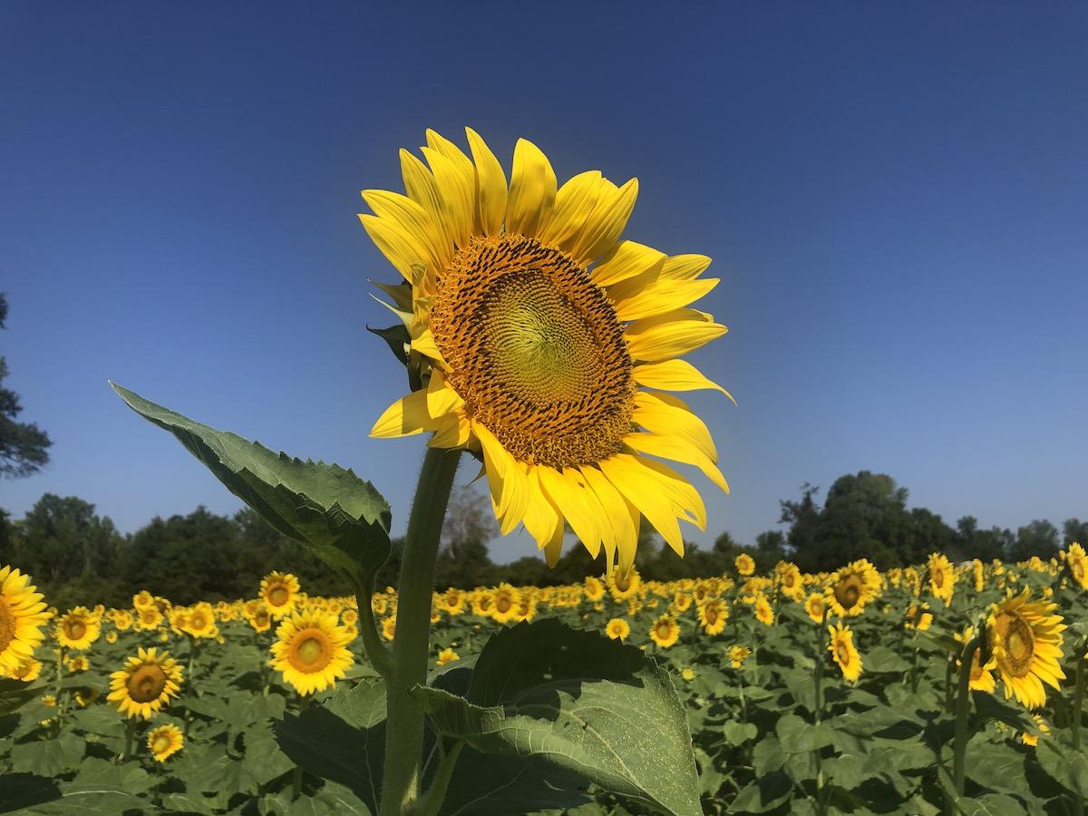 Birmingham's Backyard: Autaugaville Sunflower Field