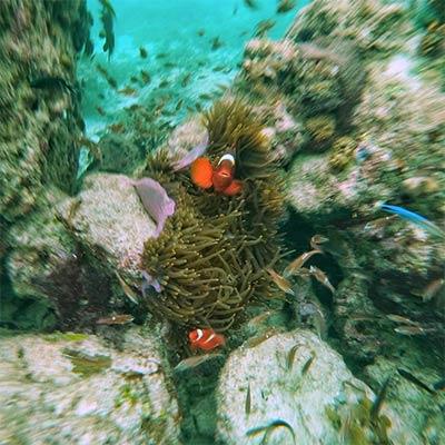 Two clownfish swimming around Malaysian coral